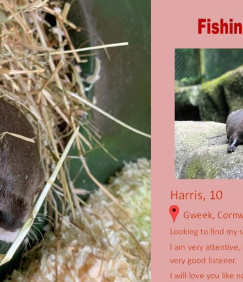 An otter finds love using an online dating site built for him