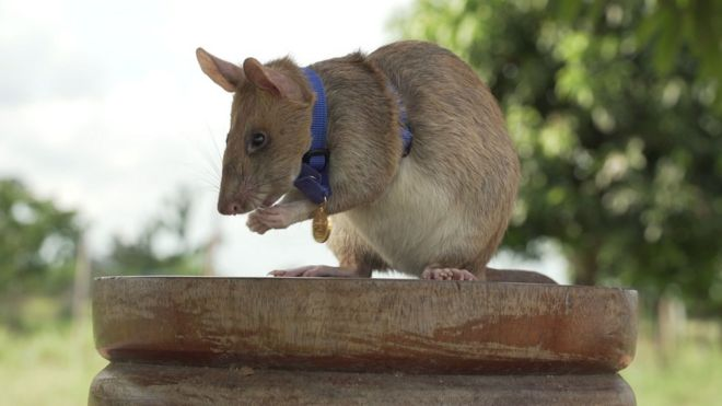 Feel Good Friday – The one rat we are rooting for